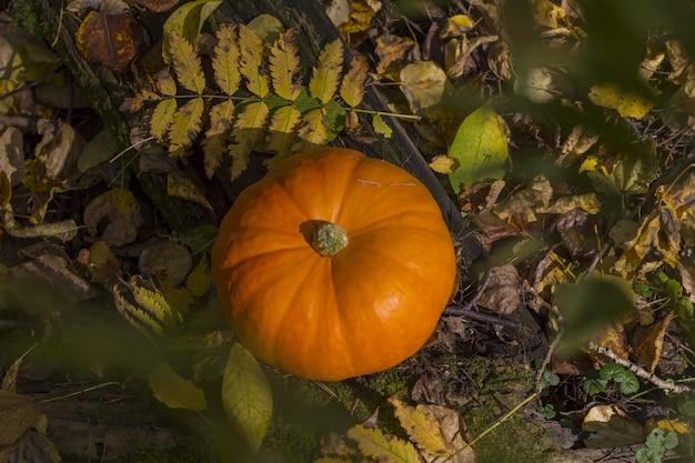 Abóbora da colheita da queda em uma grama verde ao ar livre. composição de outono. dia de ação de graças e