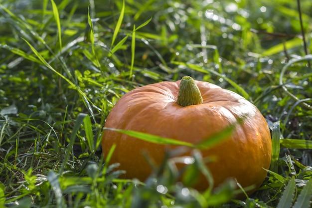 Abóbora da colheita do outono em uma grama verde ao ar livre.