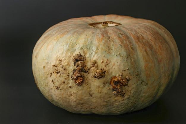 Abóbora feia na moda em um fundo escuro, conceito mínimo de vegetais feios, orientação horizontal, close-up