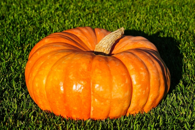Abóbora laranja madura em um fundo de seleção de grama verde de abóboras para o conceito de outono de halloween ...
