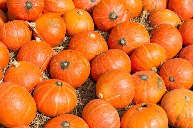 Abóboras laranja coloridas em um campo