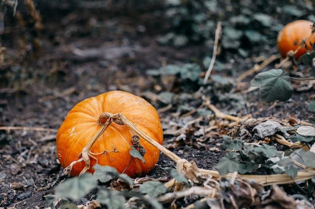Abóboras laranja maduras com videira no campo no outono
