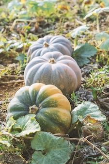 Abóboras maduras de vários tamanhos são armazenadas no pátio da fazenda ao ar livre