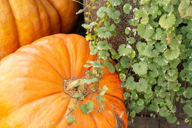 Abóboras no mercado dos fazendeiros. diferentes variedades de abóboras. festival de ação de graças do orange pumpkin haystack