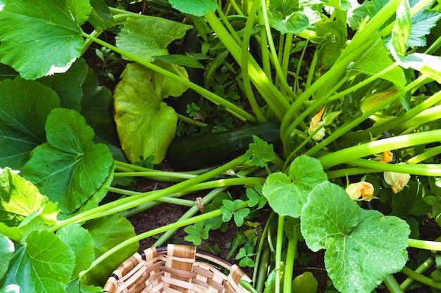 Abobrinha com um vegetal de abobrinha. conceito agrícola.