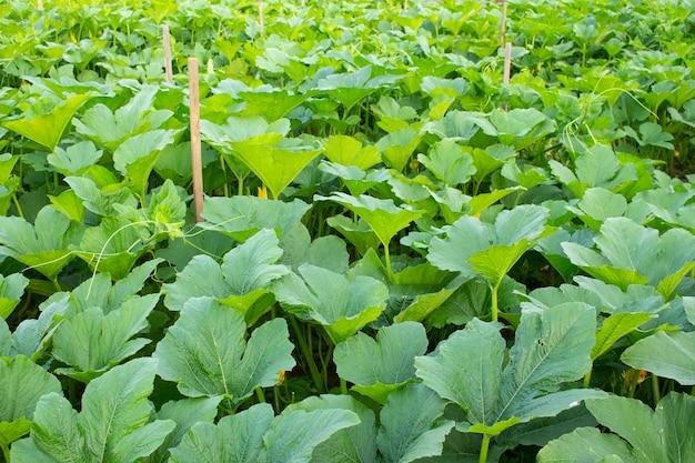 Abobrinha e abóbora em flor no jardim. fundo rural, conceito de amadurecimento da colheita.