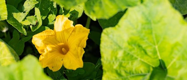 Abobrinha florescendo em um dia ensolarado. flor de abobrinha amarela em folhagem verde. a abobrinha amadurece no jardim. copie o espaço