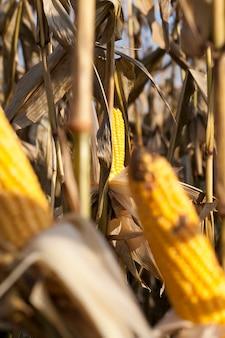 Abra espigas de milho amarelo maduro e grãos de milho sólidos nos caules antes da colheita, close up