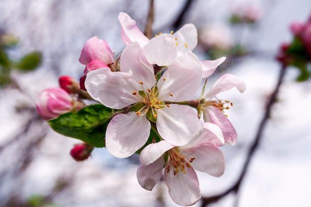 Abra flores e botões de flores de macieira