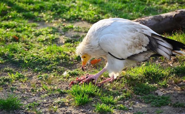Abutre comendo um pedaço de carne no zoológico
