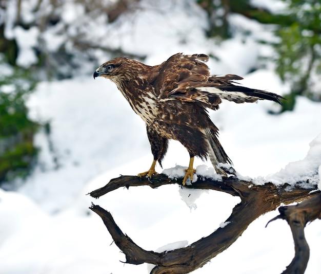 Abutre-comum (buteo buteo) sentado em um galho no inverno.