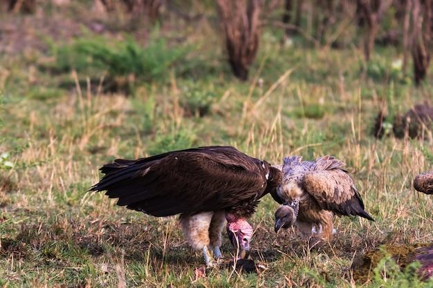Abutre de masai mara. quênia, áfrica