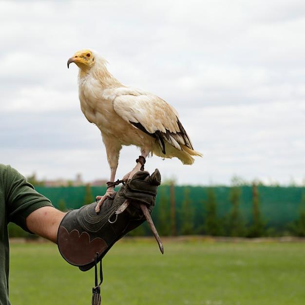 Abutre do egito (neophron percnopterus) nas mãos de um falcoeiro