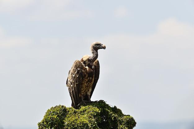 Abutre na savana africana do parque masai mara