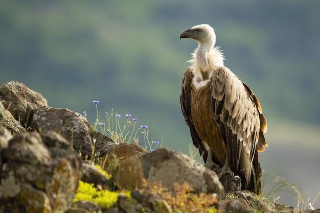 Abutre sentado no pico rochoso diagonal nas montanhas