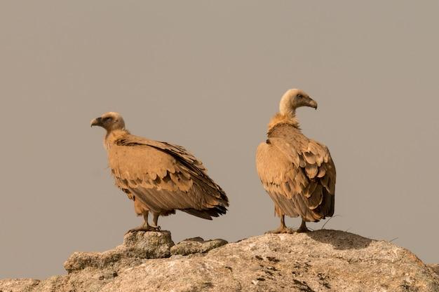 Abutres adultos marrons em uma grande pedra