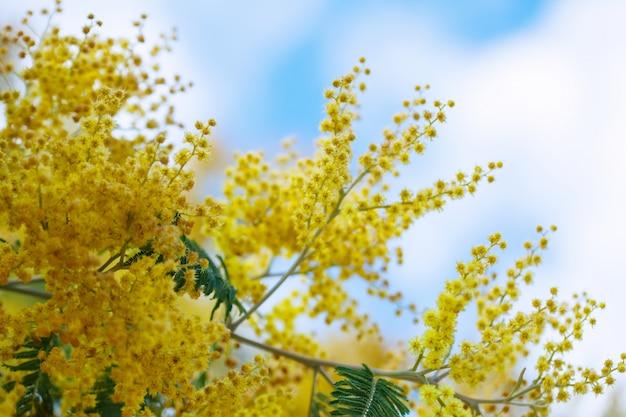 Acacia dealbata se ramifica contra o céu