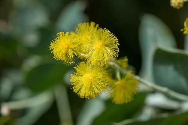Acácia podalyriifolia, flores amarelas, fragrância leve em um buquê redondo
