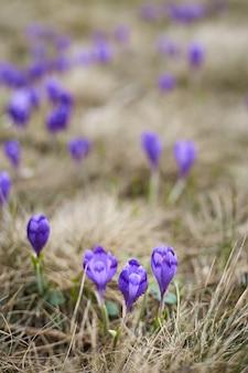 Açafrão violeta nas montanhas de primavera. florescendo açafrão roxa alpina