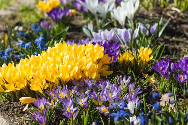 Açafrões florescendo no jardim botânico