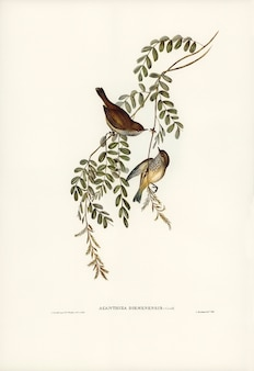 Acanthiza da tasmânia (acanthiza diemenensis) ilustrado por elizabeth gould