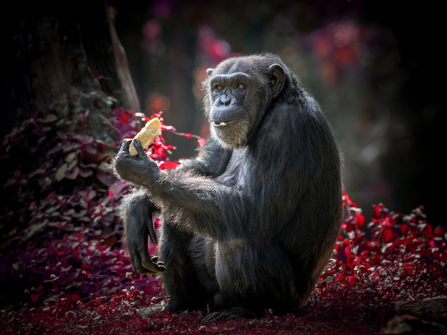 Ação de um chimpanzé, sentado em seu ambiente natural do zoológico.