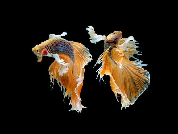 Ação e movimento de peixes tailandeses em um fundo preto
