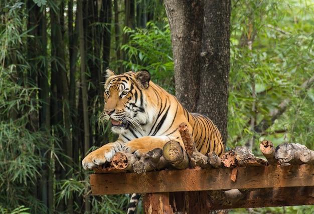 Ação relaxante do tigre na natureza