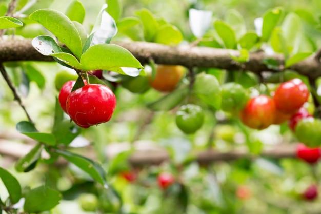 Acerola cereja fruta na árvore no jardim