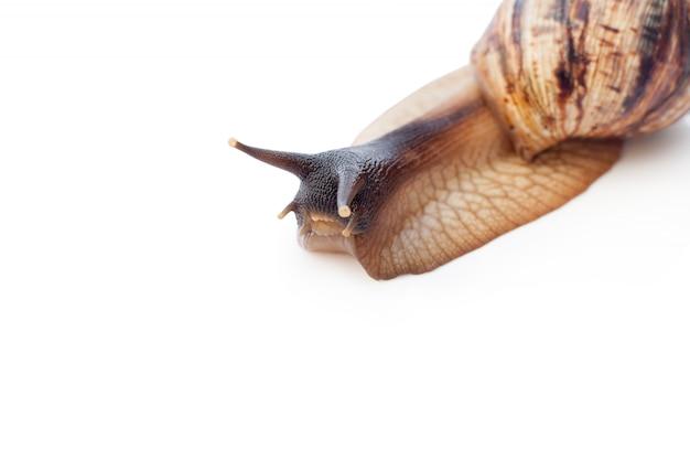 Achatina reticulata com cabeça escura