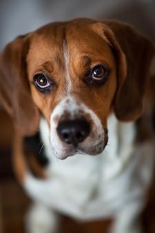 Acima, retrato de um cachorro beagle sentado em uma cama de cachorro