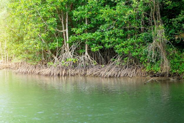 Acima vista da floresta de mangue na tailândia