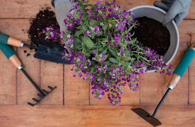 Acima, vista das mãos da mulher durante a jardinagem com plantas com flores violetas. mesa de madeira e fundo, ferramentas de jardim. amor pela natureza, conceito