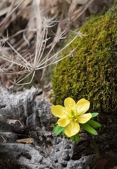 Acônito de inverno na floresta de primavera