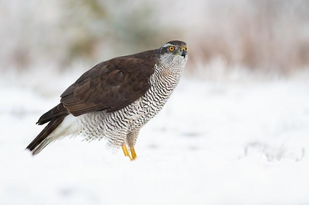 Açor do norte adulto, accipiter gentilis, na neve no inverno