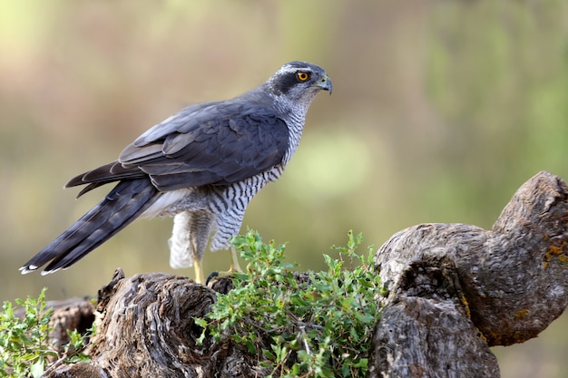 Açor do norte com as últimas luzes da tarde, accipiter gentilis