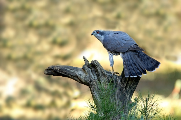 Açor do norte com as últimas luzes do pôr do sol, accipiter gentilis