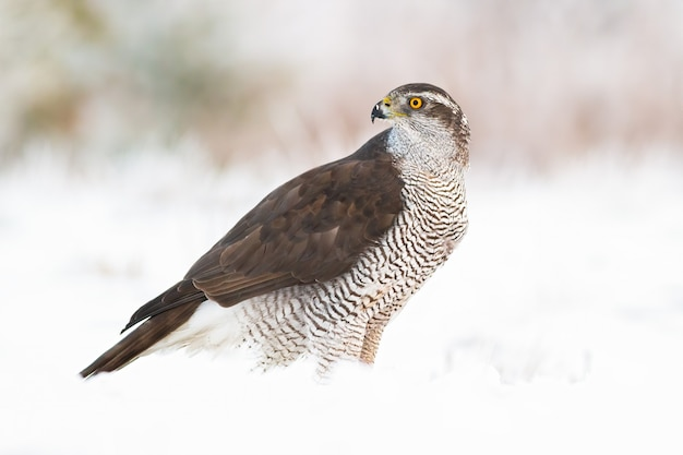 Açor norte, accipiter gentilis na neve no inverno