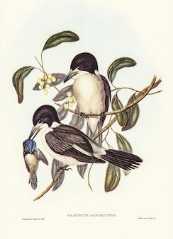 Açougueiro-pássaro (cracticus destructor) ilustrado por elizabeth gould