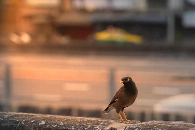 Acridotheres tristis ou pássaro estorninho na vista da cidade com sol flare