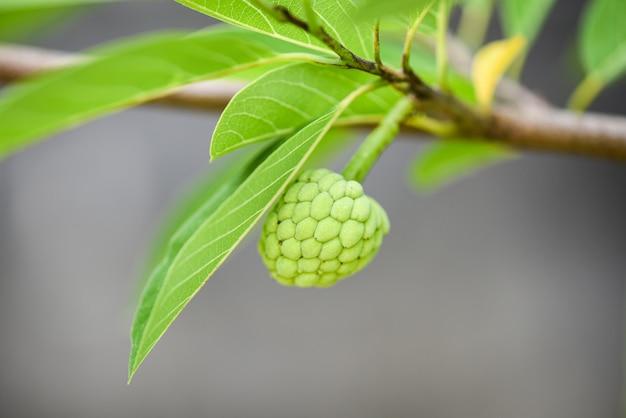 Açúcar maçã ou creme de maçã na árvore no jardim annona sweetsop