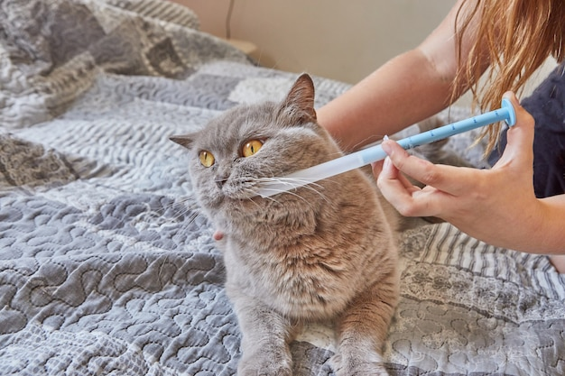 Adolescente administra medicação com seringa para gato britânico cinza de pêlo curto.