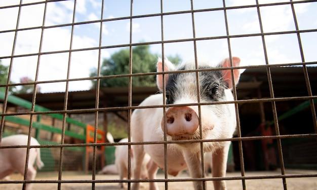 Adoráveis bebês porquinhos na fazenda