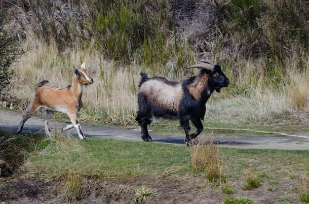 Adoráveis cabras caminhando na estrada no interior da nova zelândia