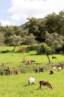 Adoráveis cabras pastando grama em uma paisagem com prados verdes pela manhã