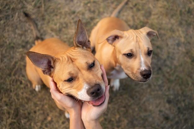 Adoráveis cães pitbull olhando para cima