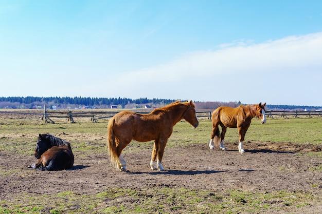 Adoráveis cavalos pastando no prado, estável