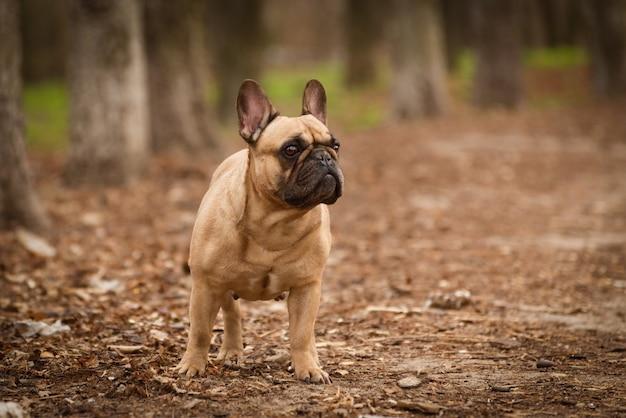 Adorável buldogue francês fulvo caminhando na floresta.