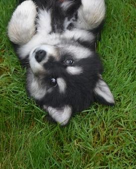 Adorável cachorrinho alusky nas costas na grama verde.