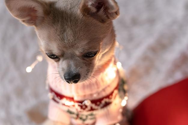 Adorável cachorrinho de natal chihuahua com suéter e luzes